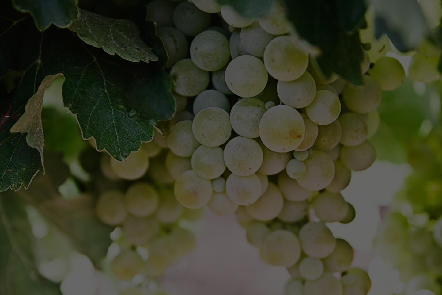 Sydafrikansk hvidvin